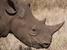Diceros bicornis (Black Rhinoceros)