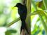 Dicrurus waldenii (Mayotte Drongo)