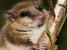 Dromiciops gliroides (Monito del Monte)