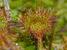 Drosera rotundifolia (Roundleaf Sundew)