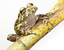 Eleutherodactylus nortoni (Spiny Giant Frog)