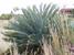 Encephalartos middelburgensis (Middelburg Cycad)
