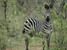 Equus quagga (Plains Zebra)