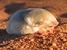 Eremitalpa granti (Grant's Golden Mole)