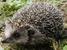 Erinaceus amurensis (Manchurian Hedgehog)