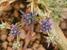 Eryngium viviparum
