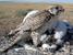 Falco cherrug (Saker Falcon)