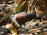 Gallicolumba erythroptera (Polynesian Ground Dove)