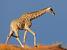 Giraffa camelopardalis (Giraffe)