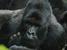 Gorilla beringei beringei (Mountain Gorilla)