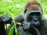 Gorilla gorilla spp. diehli (Cross River Gorilla)