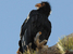 Gymnogyps californianus (California Condor)