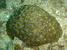 Horastrea indica (Horastrea Coral)
