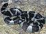 Laticauda schistorhynchus (Flat-tail Sea Snake)