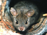 Leporillus conditor (Greater Stick-nest Rat)