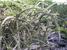 Leptocereus quadricostatus (Sebucan)