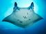 Manta alfredi (Reef Manta Ray)