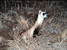 Mustela nigripes (Black-footed Ferret)