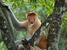 Nasalis larvatus (Proboscis Monkey)