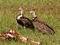 Necrosyrtes monachus (Hooded Vulture)