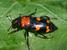 Nicrophorus americanus (American Burying Beetle)