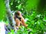 Nomascus hainanus (Hainan Gibbon)