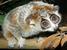 Nycticebus pygmaeus (Pygmy Slow Loris)
