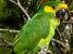 Ognorhynchus icterotis (Yellow-eared Parrot)