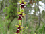 Ophrys insectifera (Fly Orchid)
