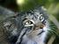 Otocolobus manul (Pallas's Cat)