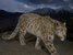 Panthera uncia (Snow Leopard)