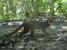 Pardofelis badia (Borneo Bay Cat)