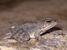 Pelophylax cerigensis (Karpathos Frog)