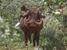 Phacochoerus aethiopicus (Desert Warthog)