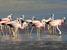 Phoenicoparrus andinus (Andean Flamingo)