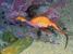 Phyllopteryx taeniolatus (Weedy Seadragon)