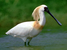 Platalea minor (Black-faced Spoonbill)