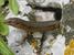 Podarcis lilfordi (Lilford's Wall Lizard)