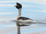 Podiceps gallardoi (Hooded Grebe)