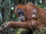 Pongo abelii (Sumatran Orangutan)