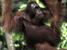 Pongo pygmaeus (Bornean Orangutan)