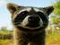 Procyon pygmaeus (Pygmy Raccoon)