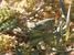 Psorodonotus ebneri (Beydaglari Bush-cricket)