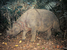 Rhinoceros sondaicus (Javan Rhinoceros)