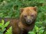 Speothos venaticus (Bush Dog)