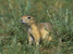 Spermophilus citellus (European Ground Squirrel)