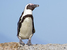 Spheniscus demersus (African Penguin)