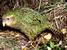Strigops habroptila (Kakapo)