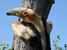 Tamandua tetradactyla (Lesser Anteater)