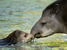 Tapirus terrestris (Lowland Tapir)